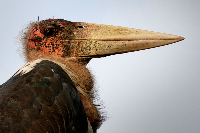 A close up of the pink, bald head of a Marabou Stork at Londolozi by James Hobson