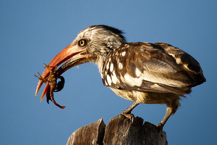 Red Billed Hornbill by James Hobson
