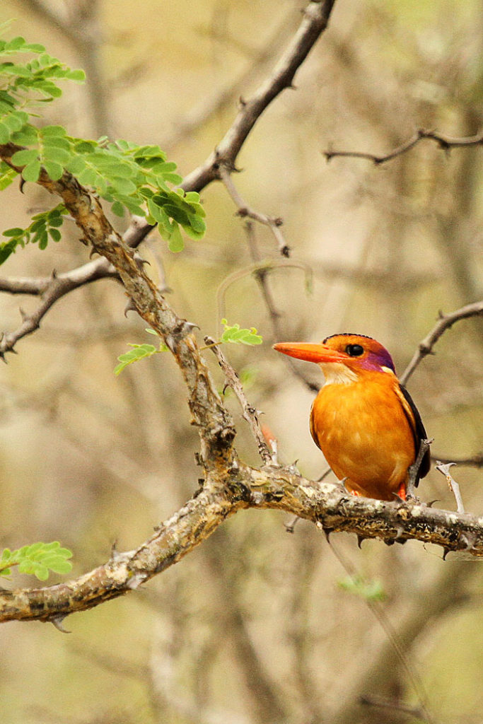 African Pygmy Kingfisher by James Hobson