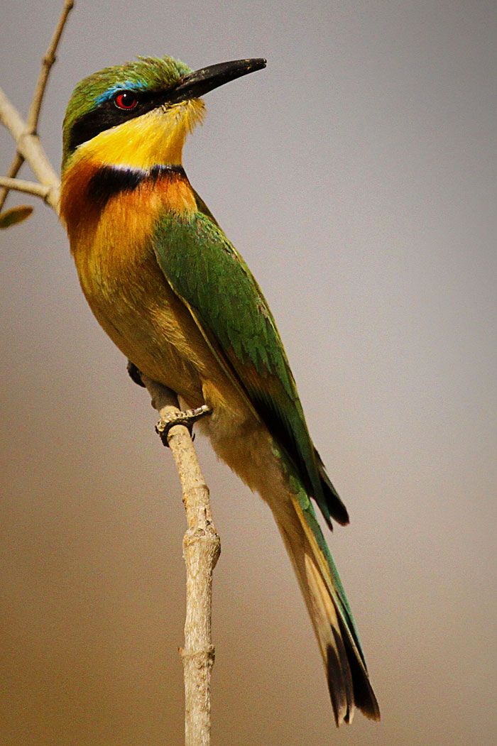 Bee Eater by James Hobson