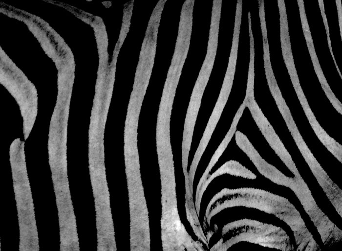 Each individual zebra has unique markings. Putting science and biology aside; these stripes make for wonderful abstract and pattern photographs.