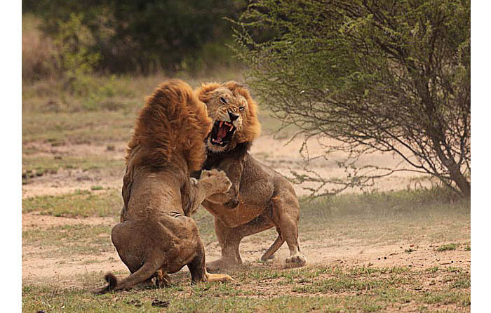 Male Lions Fighting by John O Brien