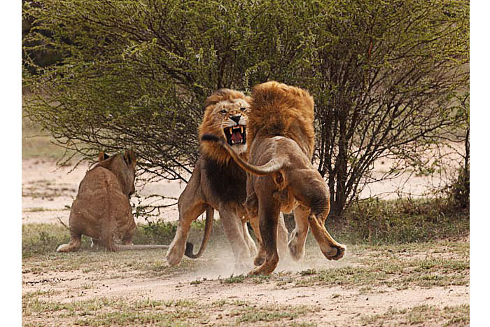 Male Lion Fight by John O Brien