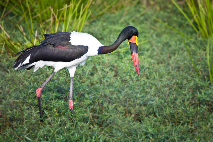 Saddle Billed Stork looking for frogs - Rich Laburn