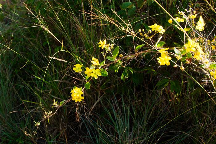 Vine yellow flowers choice image flower decoration ideas vine yellow flowers images flower decoration ideas yellow flower image londolozi fine art yellow flower mightylinksfo mightylinksfo