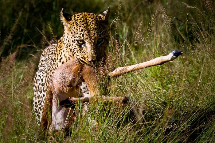 Camp Pan Dragging Impala Kill