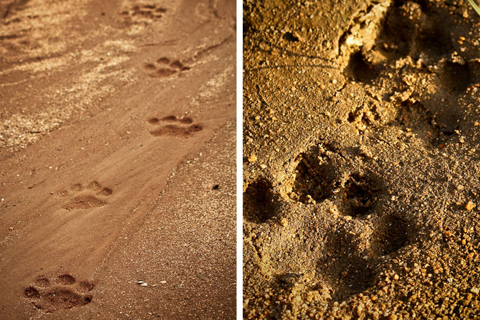 A variety of big cat tracks were identified during the 7 days - James Crookes