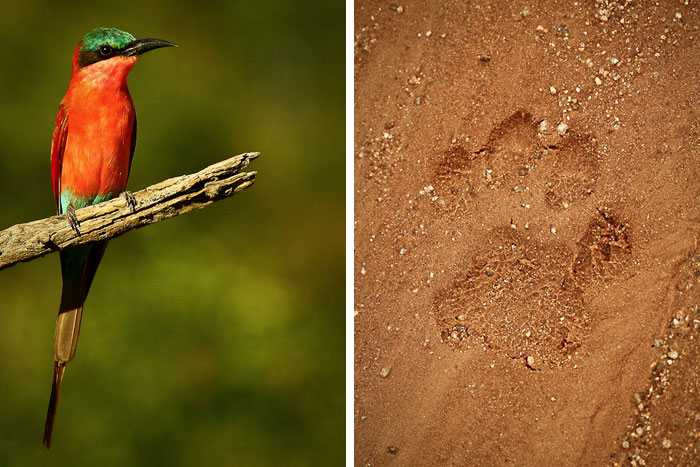 A Carmine Bee Eater and Leopard Track - James Crookes