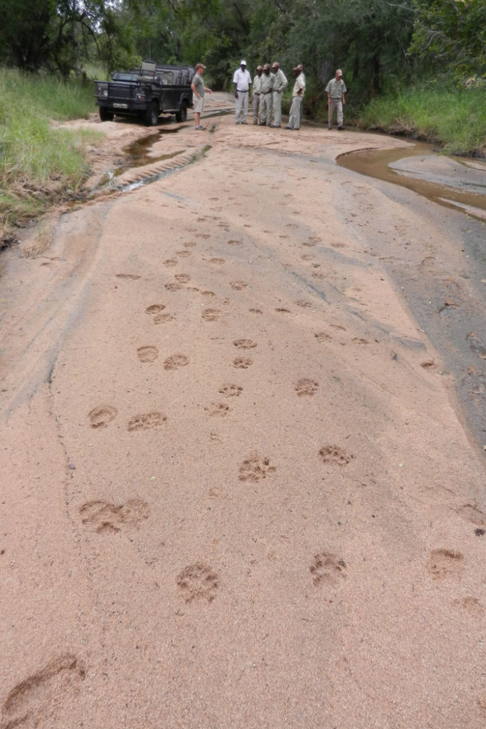 Lion tracks heading through the clearing into the bush - Aimee Tallian