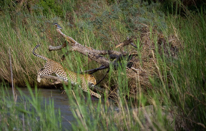 leopard jumping over river at Londolozi