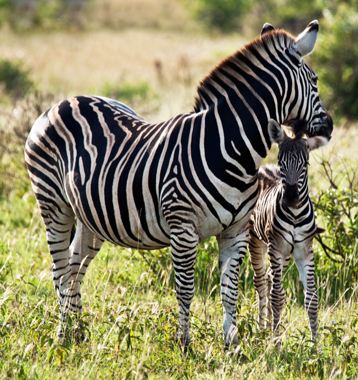 Zebra and Foal by Kate Albert