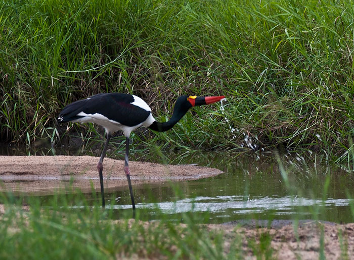 Saddle Billed Stork by Kate Albert