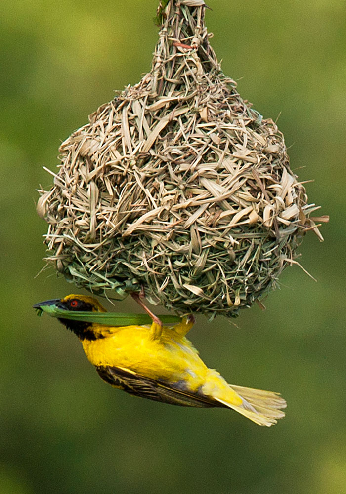 Weaver building nest by Kate Albert
