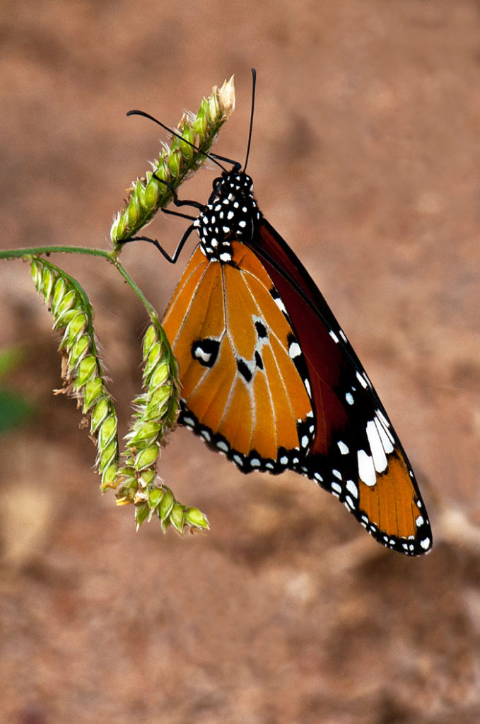 Monarch Butterfly by Kate Albert