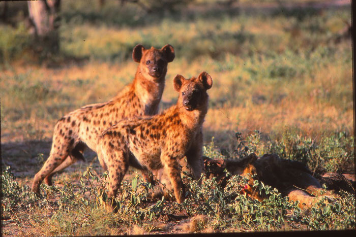 Hyenas with the remaining carcass by Chris Kane Berman