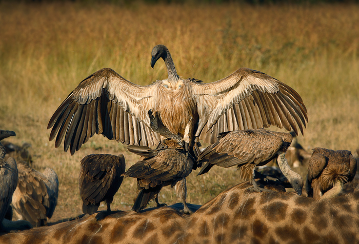 Vultures Fighting