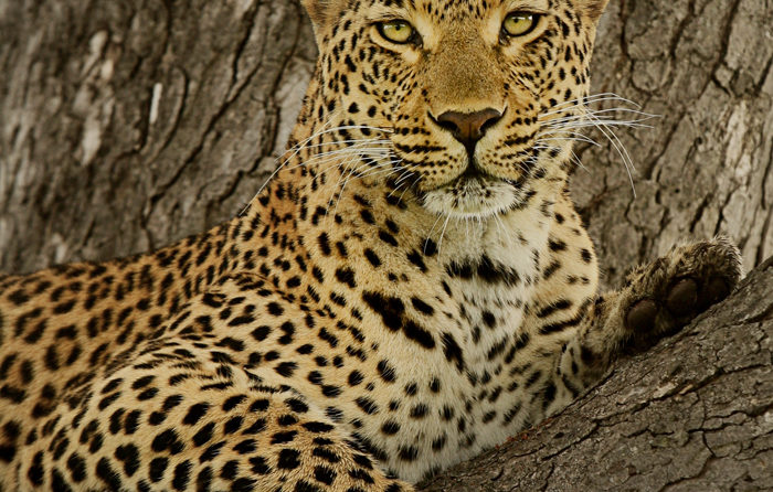 Tutlwa draped over a Marula branch