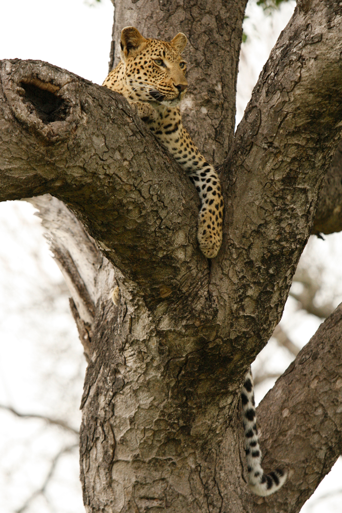 Tutlwa Female in Tree