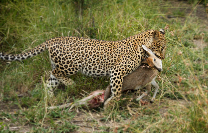 A female leopard drags her kill