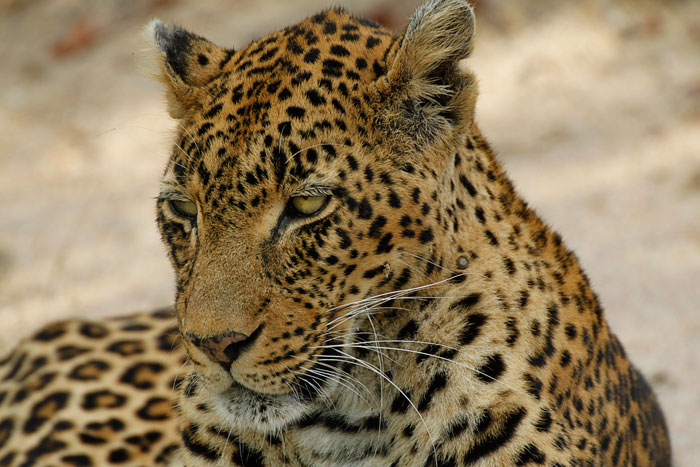 Vomba Female Leopard