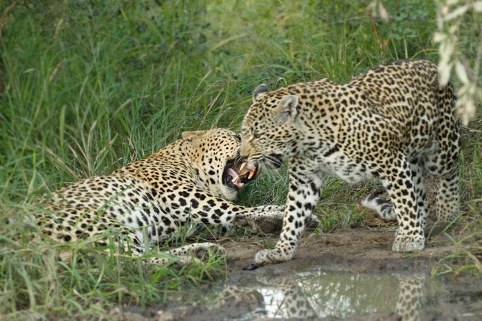 Female Leopard Growling