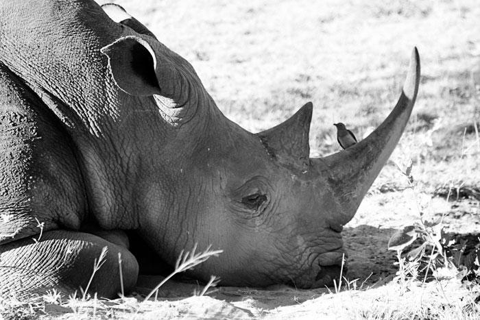 Rhino Dozing