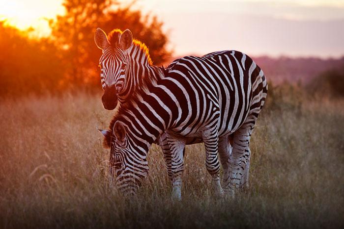 Zebra at Sunset Rich Laburn