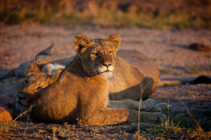 Southern Pride Young Lion - Rich Laburn