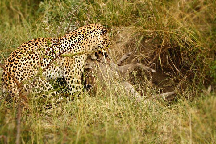 Warthog Extracted by Leopard