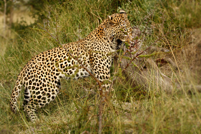 Maxabeni Young Male with Warthog in Jaws