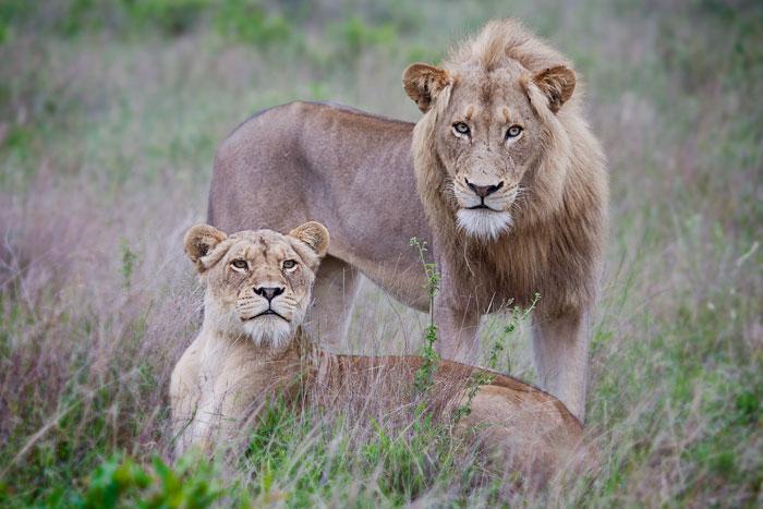 Nkahuma Male and Tsalala Lioness by Rich Laburn