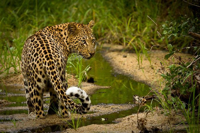 Mashaba female leopard
