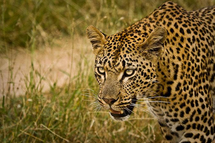 Mashaba female leopard walking