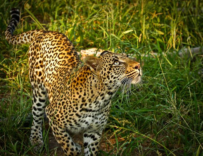 Tamboti female leopard jumping