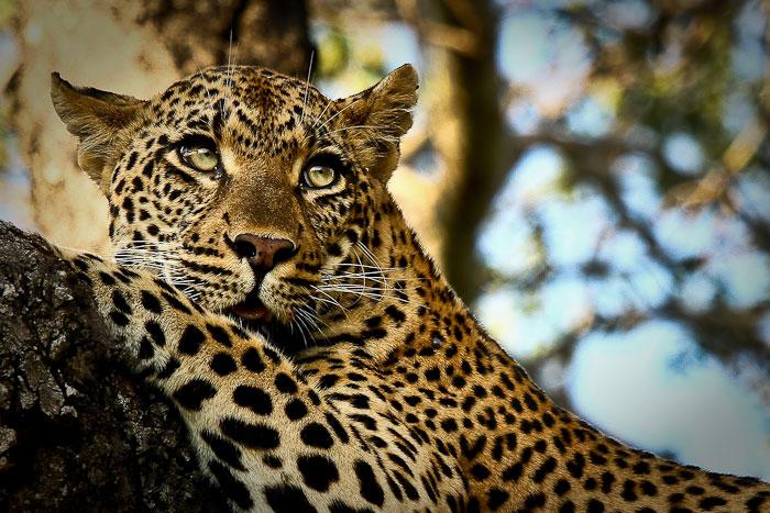 Tamboti female leopard in tree 2