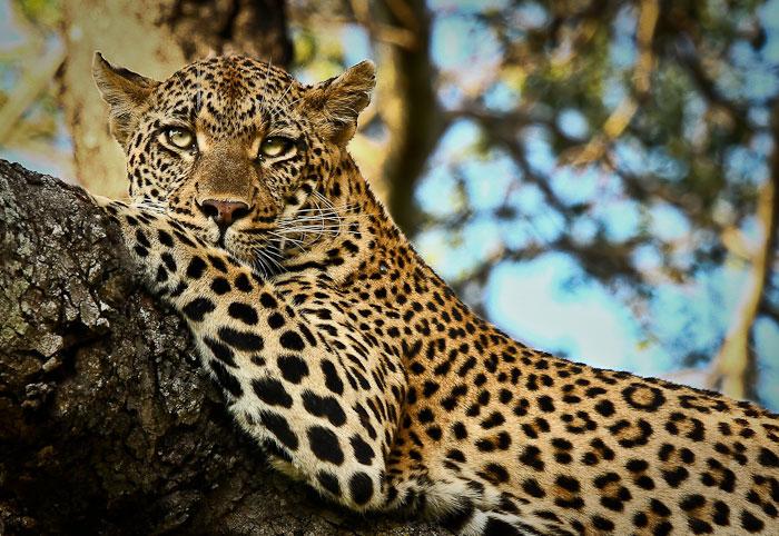 Tamboti female leopard in tree