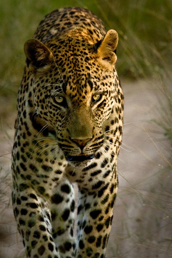 Maxabene 3:2 young male leopard walking