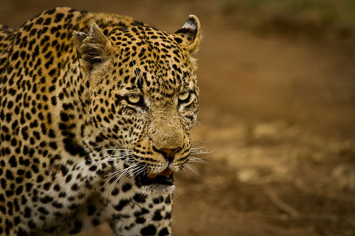 Marthly male leopard walking