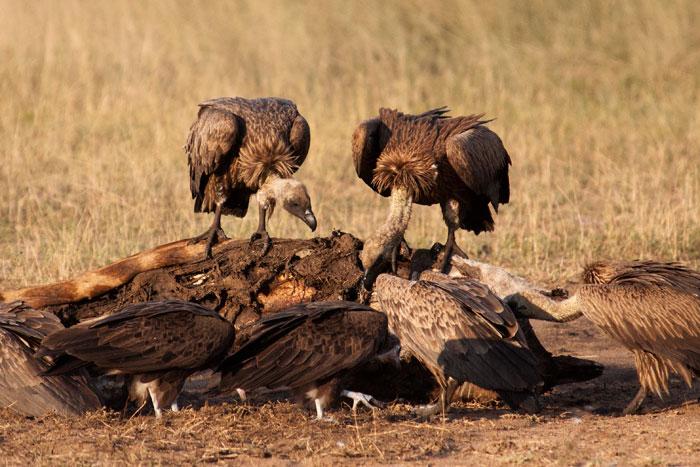 Vultures on giraffe carcass