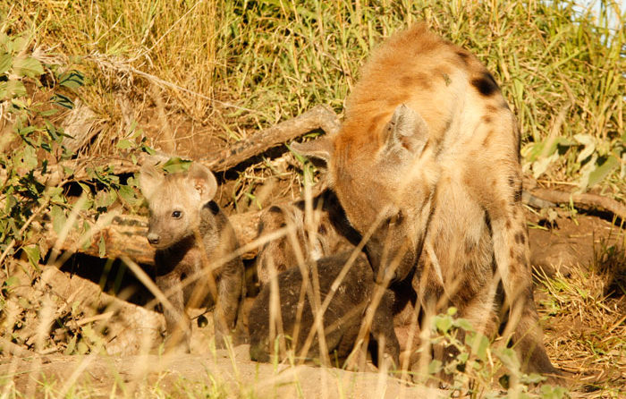 Hyena Cubs - James Tyrrell