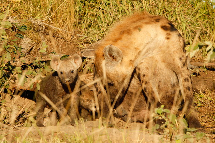 Hyena Cubs by James Tyrrell