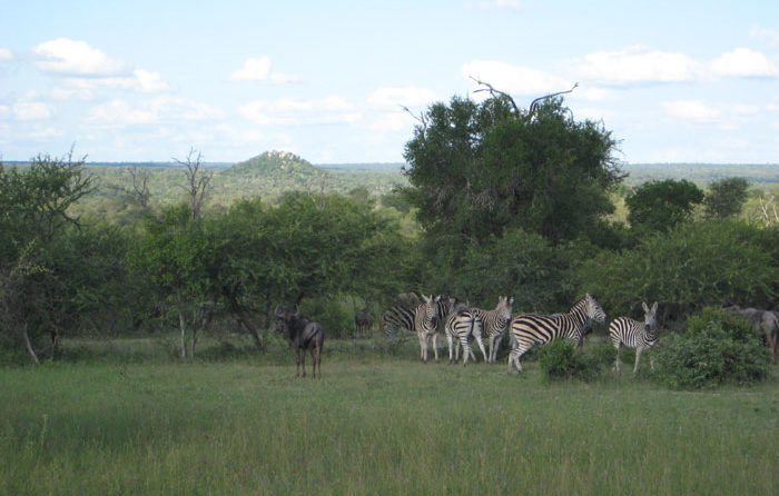 Zebra grazing in front of Stweiss Koppie - Sonja Waldl