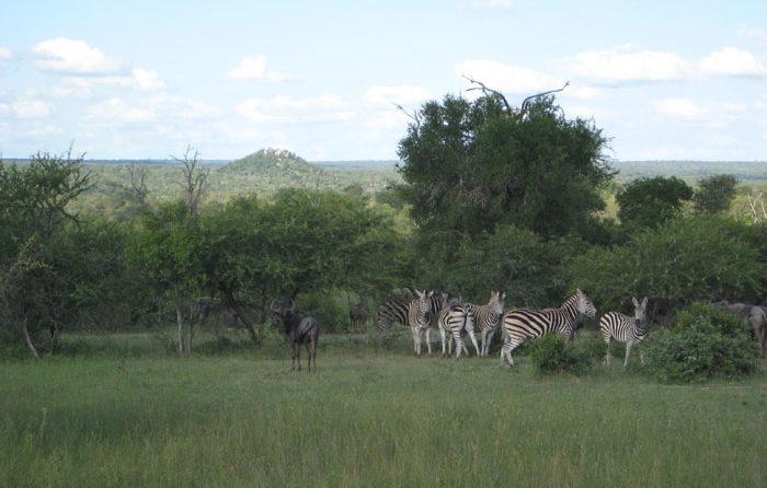 Zebra grazing in front of Stweiss Koppie - Sonja Waldl