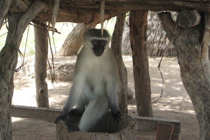 Even the monkey's were interested in joining the village experience - Sonja Waldl
