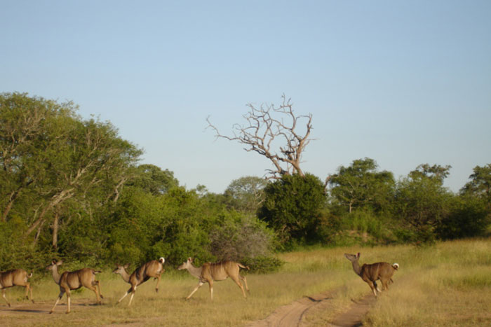 A herd of kudu leaping across of the road - Sonja Waldl