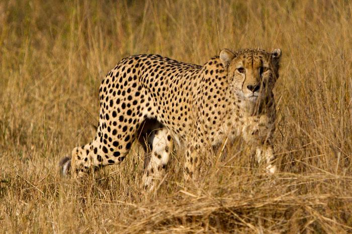 Leopard Running Speed Www Pixshark Com Images