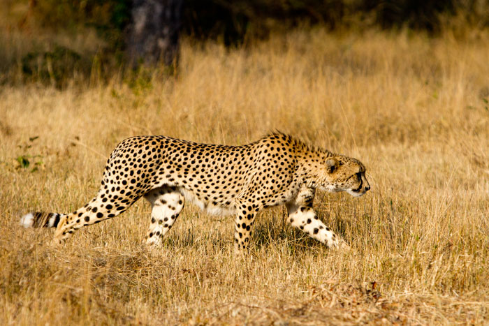 Cheetah stalking in the short brown winter grass. You can see how every muscle in this animal is built for speed!