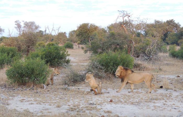 Majingilane Tsalala lionesses