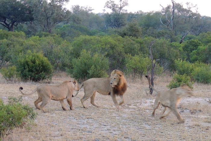 The breakaway Tsalala lionesses acted aggressively towards the Scar Nosed Majingilane Male