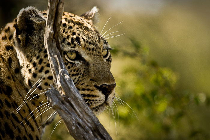 Maxabene female leopard 1
